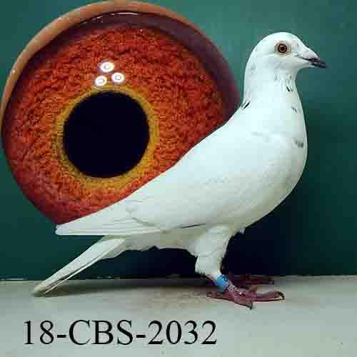 18-CBS-2032 Grizzle Cock