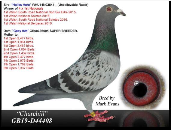 """Churchill"" GB-19-D-44408 BCC  Son, Halles Hero - Winner 4, 1st Nationals X Gaby 994"