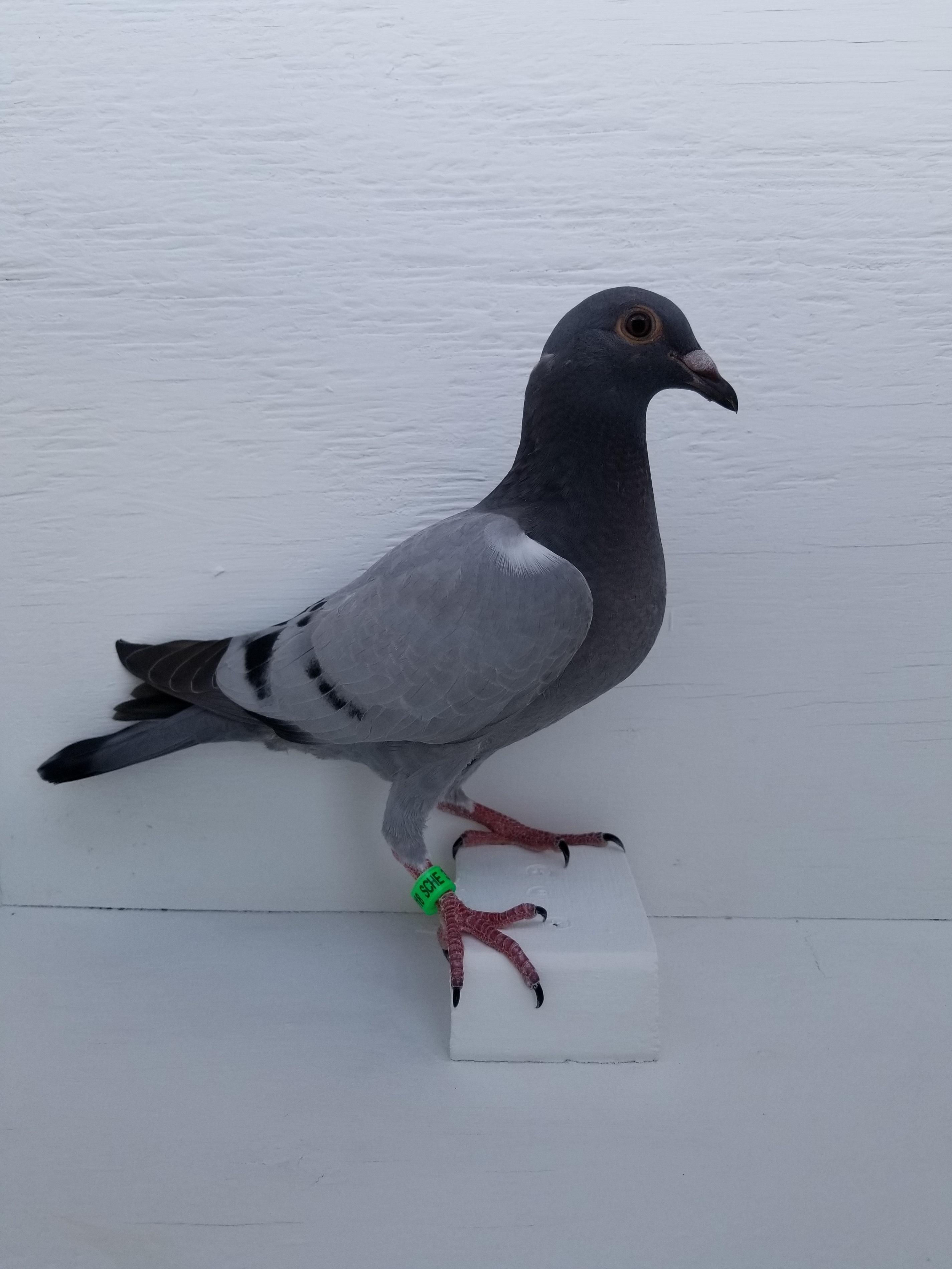 SPEED BIRD, ALL DISTANCES