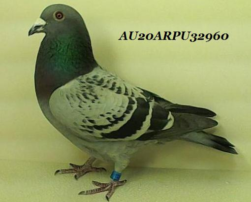 Houben from Breeders of ACES! AU2020ARPU 32960 Blue Check Cock