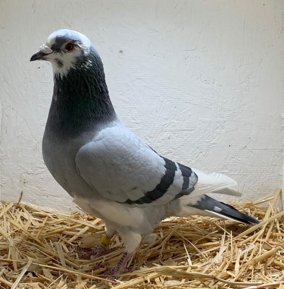 19-CDR-9472 BBPW Cock