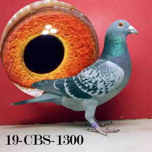 19-CBS-1300 BC C