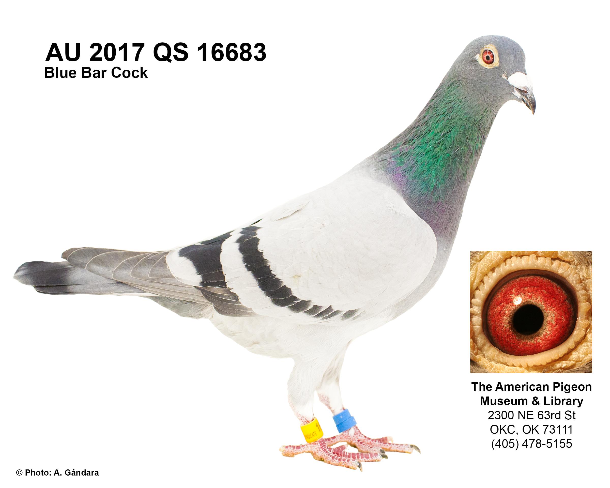 AU 17 QS 16683 BLUE BAR COCK