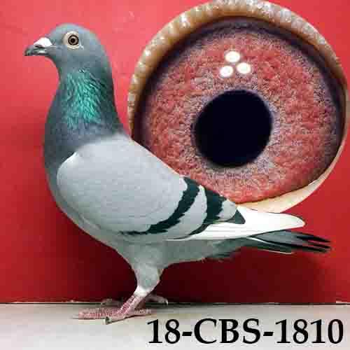 18-CBS-1810 BBWF Hen