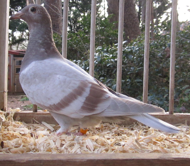 IF-2019-TRC-611 Mealy Young Bird