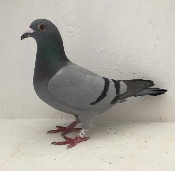 17 JRL 983 BB Hen