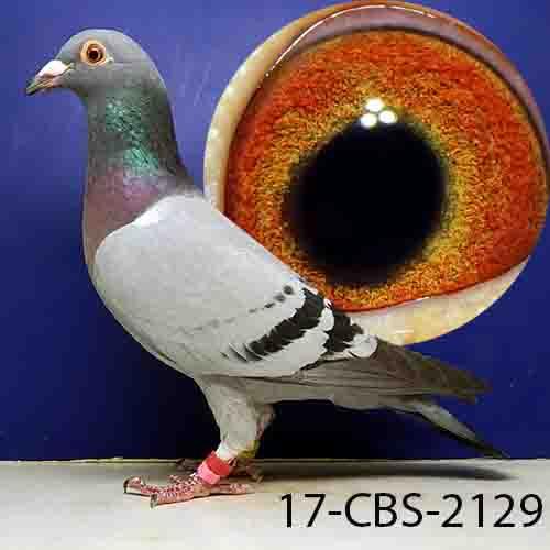17-CBS-2129 BB HEN