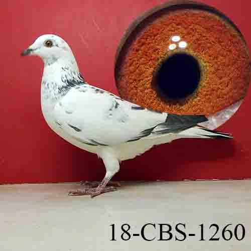18-CBS-1260 Grizzle Hen