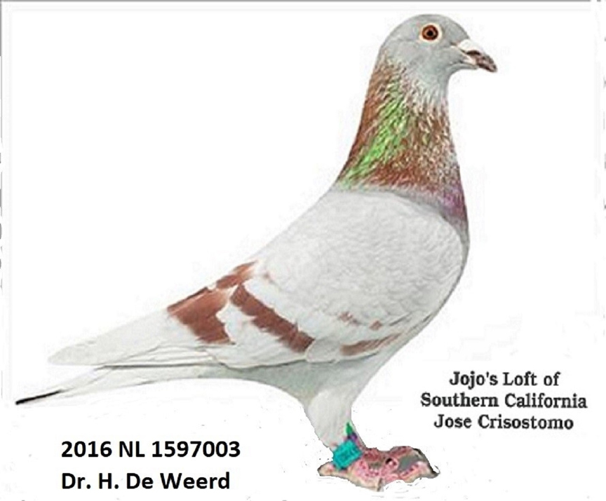 2016 NL 1597003 Mealy Cock bred by Dr. Henk DeWeerd