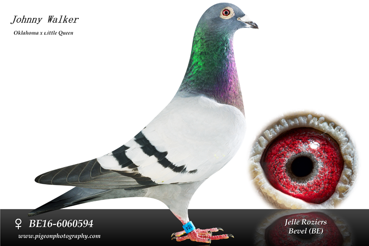 2019 YB from World Champion Jelle Roziers. This bird will be bred in the 2019 breeding season