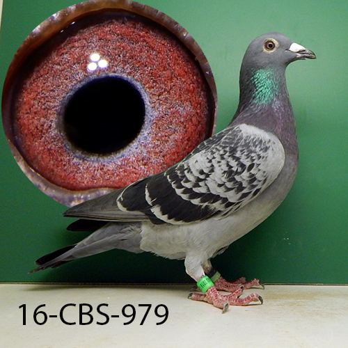 16-CBS-979 Blue check Cock