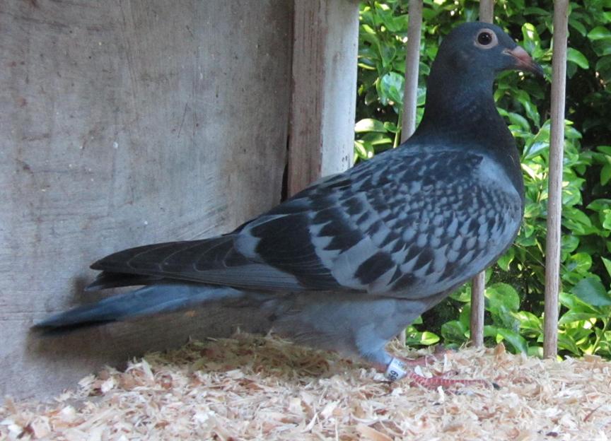 IF-2021-SCHOLAR-1969 Blue Check Young BirdWinning Koopman Family