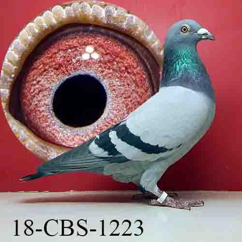 18-CBS-1223 BB Cock De Saer