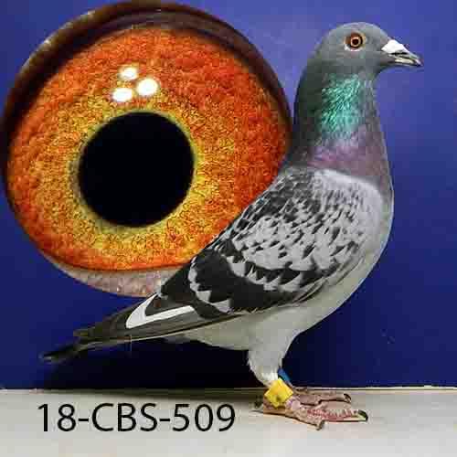 18-CBS-509 BCWF COCK