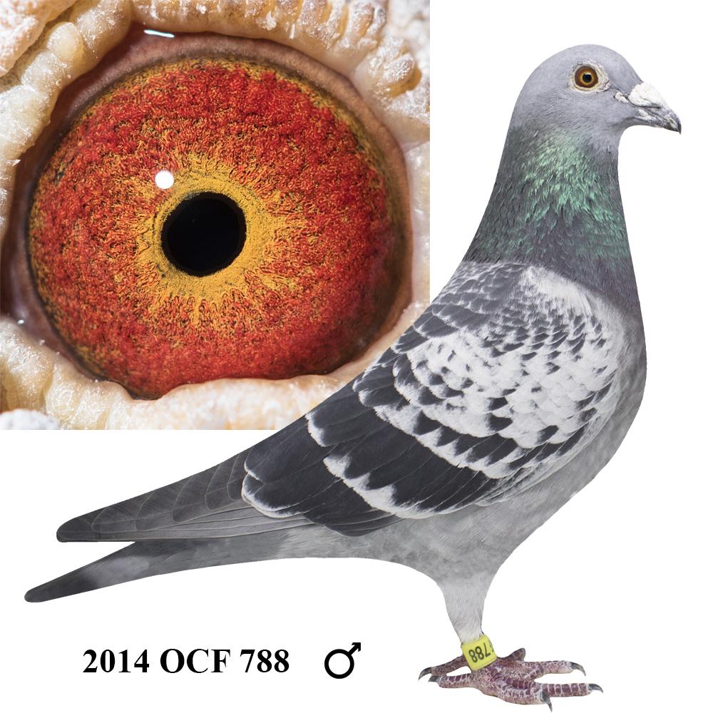 2014 OCF 788 Blue Check Cock