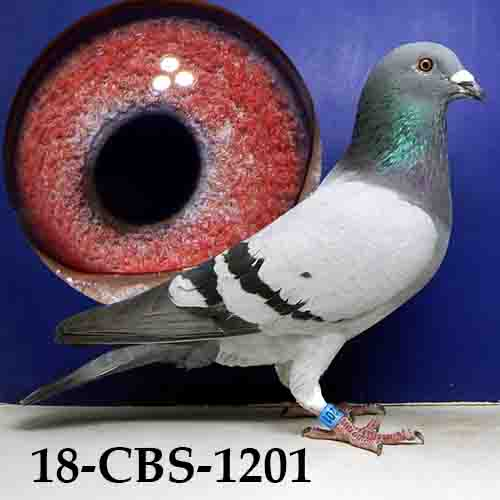 18-CBS-1201 Blue Cock