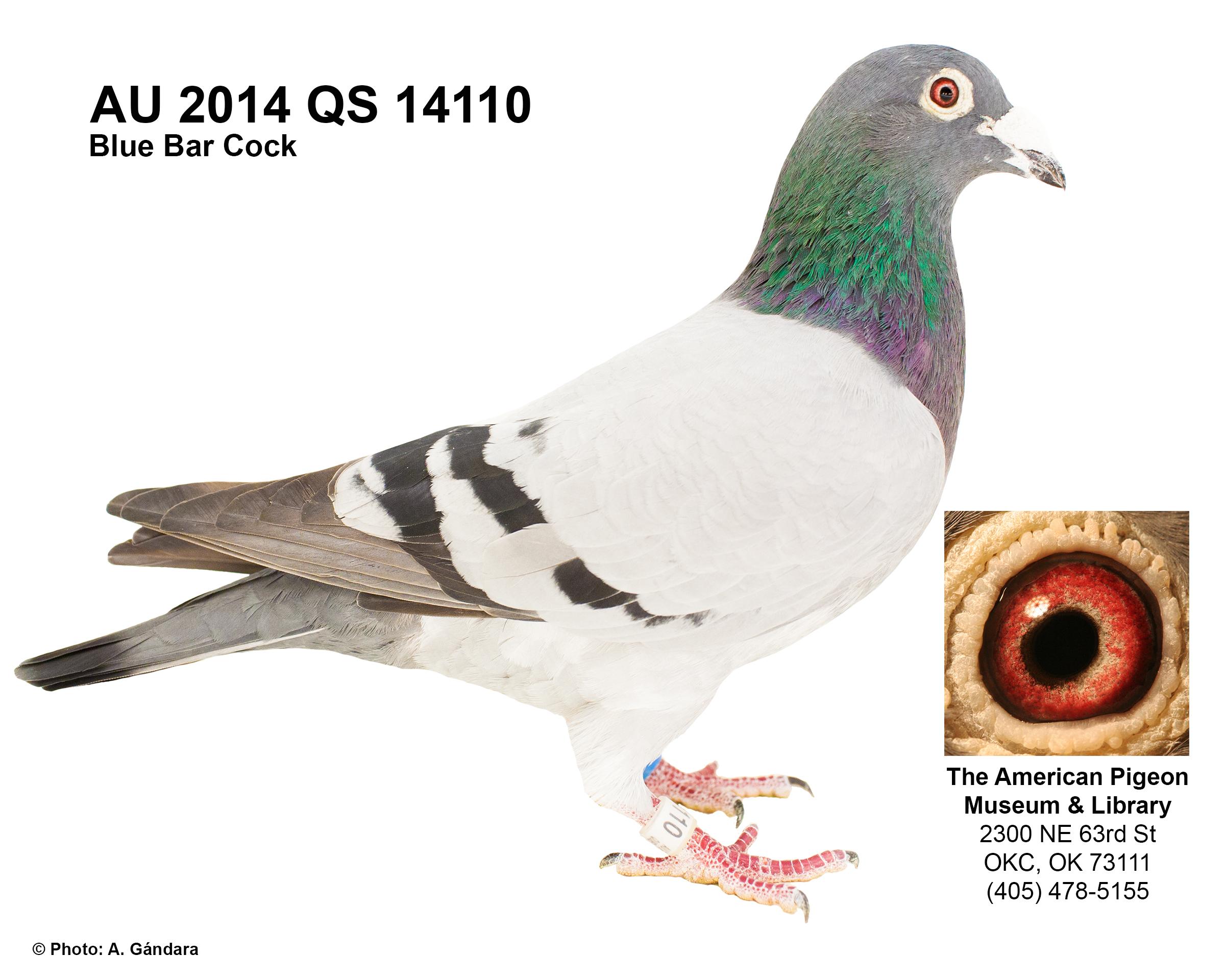 AU 14 QS 14110 BLUE BAR COCK