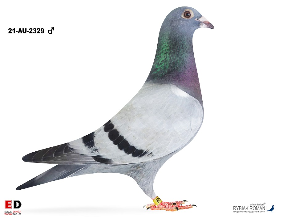Inbred Victor; Brother Victor x GrD Victor 2329, Cock