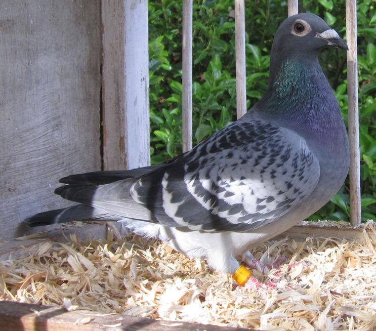 IF-2019-TRC-690 Blue Check Hen
