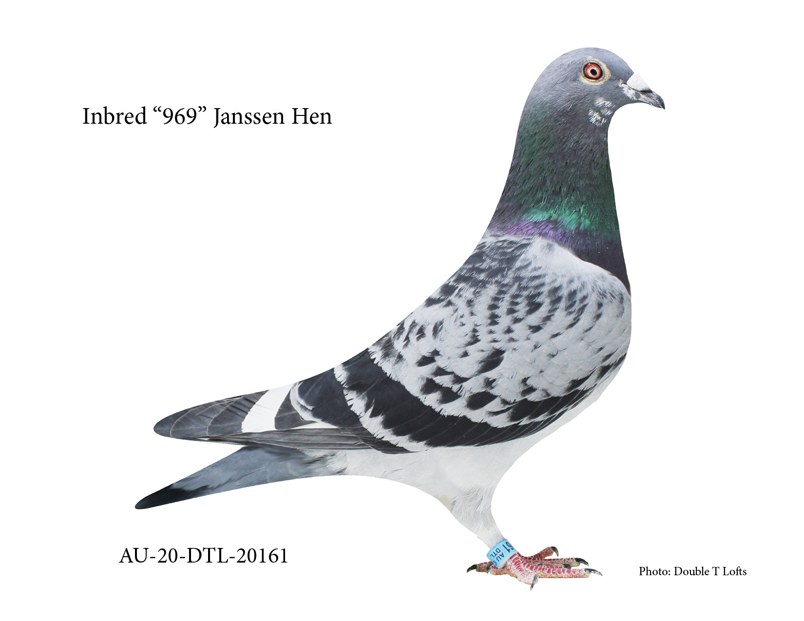 "AU-20-DTL-20161 - ""969"" Janssen Hen"