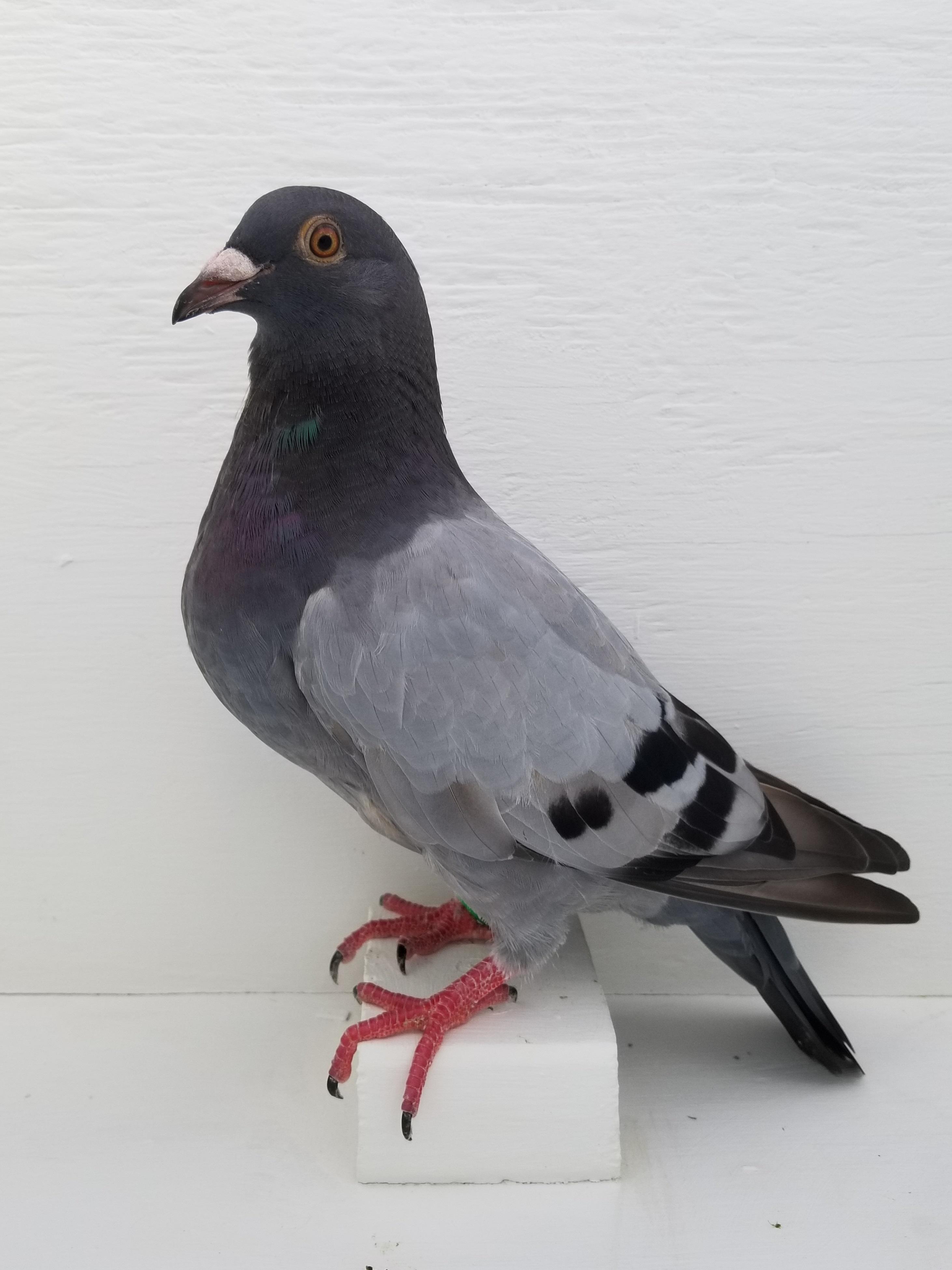 AU 18 SCHE 3918 Speed Bird
