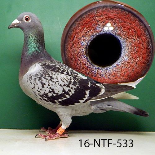 16-NTF-533 BCSP Hen