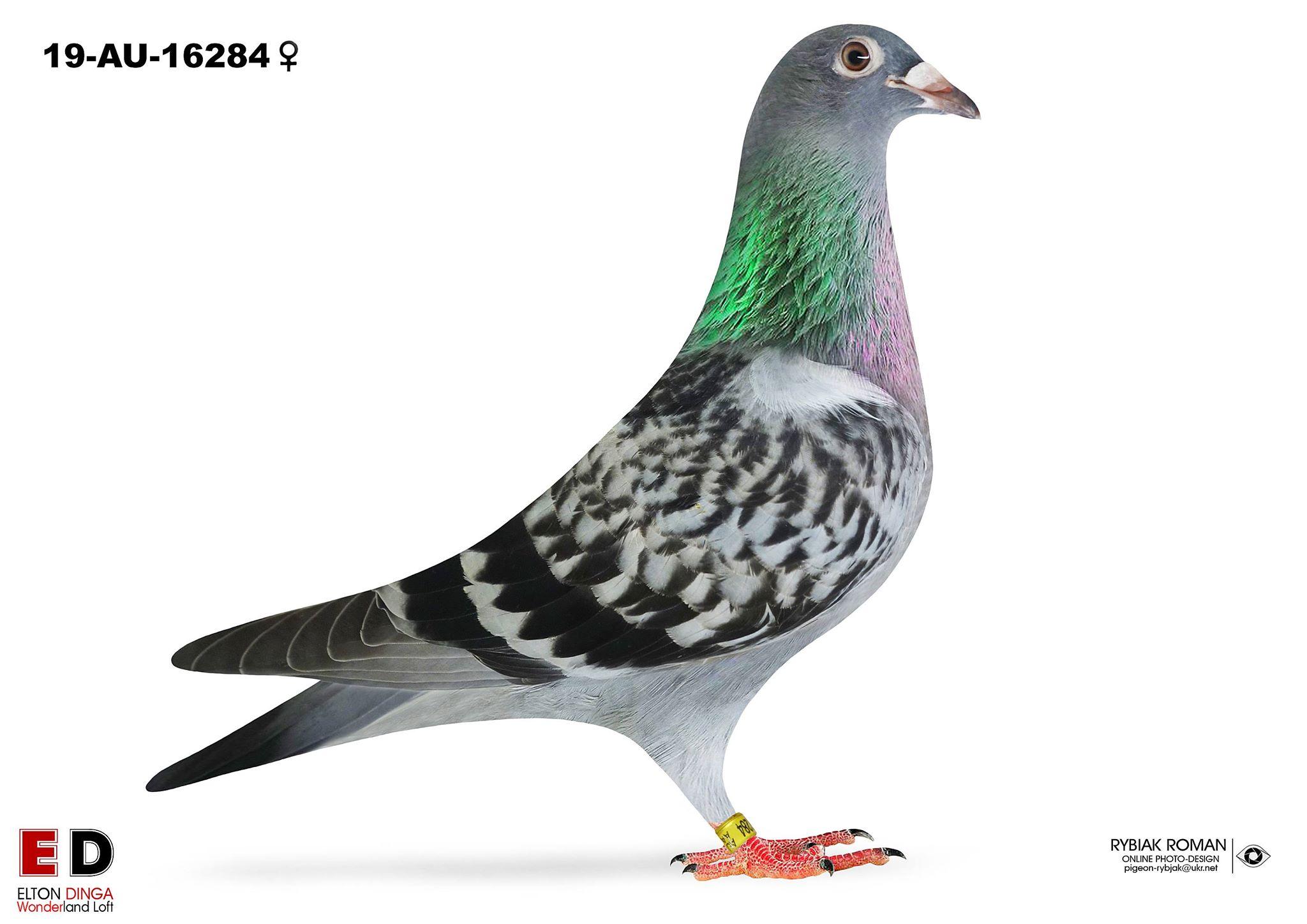 16284 - Son Champion x 2nd Ace Pigeon Blue Bucket