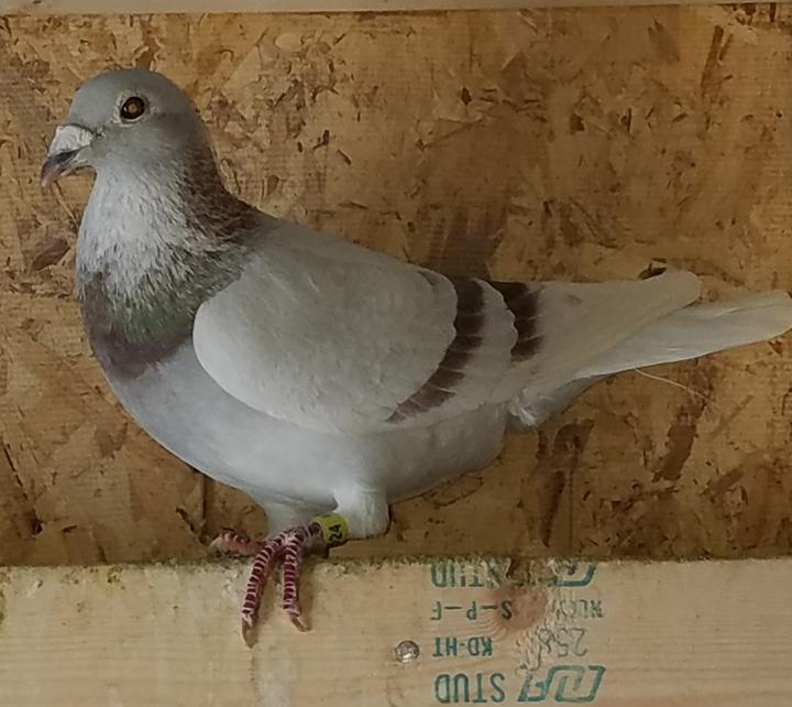 AU 14 NEI 1524 Silver Sion Cock