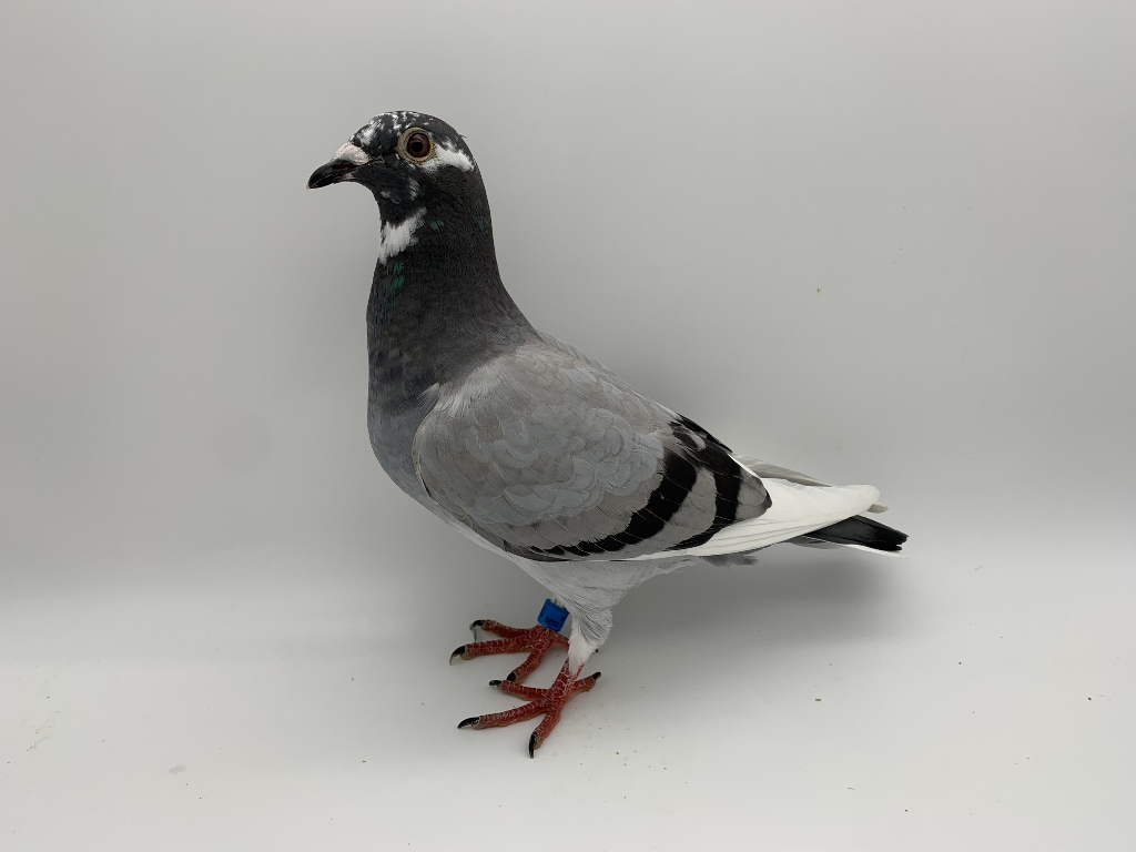 """INBRED TO MY BEST BREEDING COCK, """"BLUE MIRACLE"""" 749, WITH NEW STUD COCK """"CRACK PICASSO""""!!"""