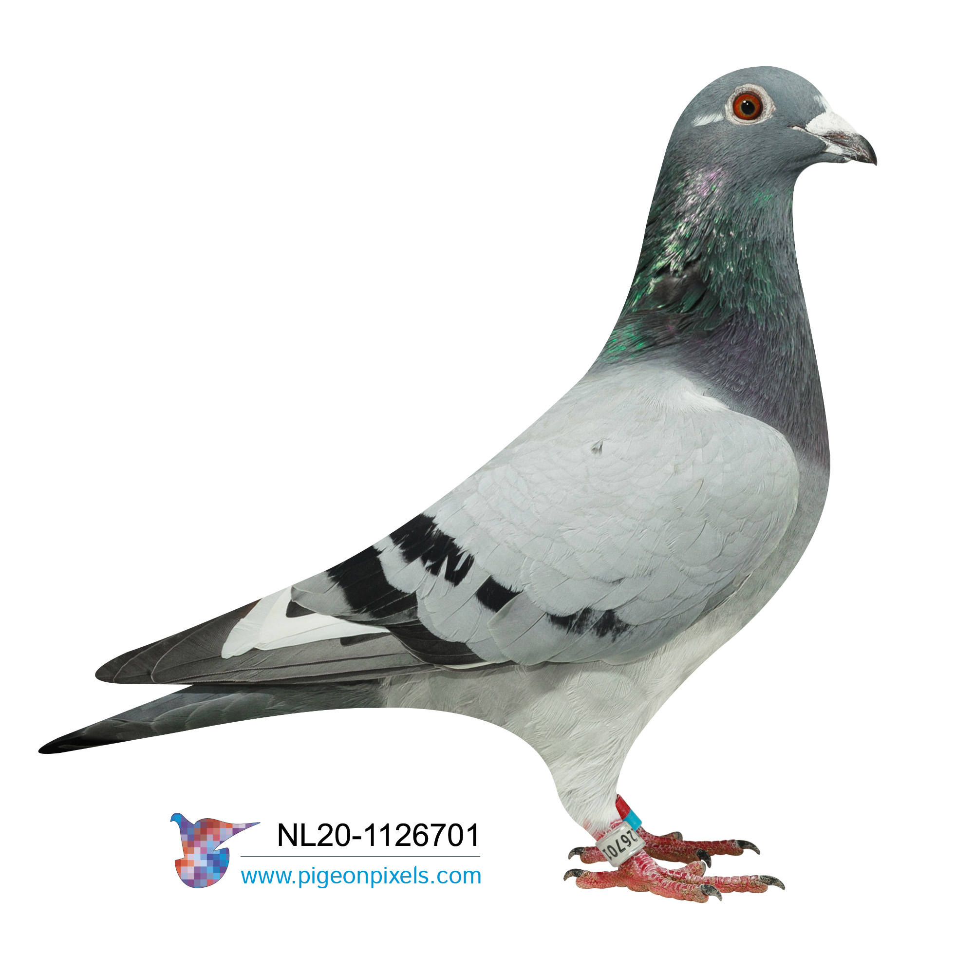 NL2020-1126701 (DE 701) BLUE WHITEFL. HEN