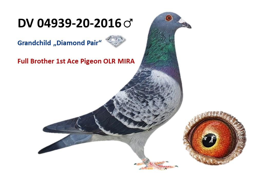 DV 04939 2020 2016 DKL Male direct Bro. 1st Ace Pig. Daughter Diamond Pair BEST PAIR in the Loft!