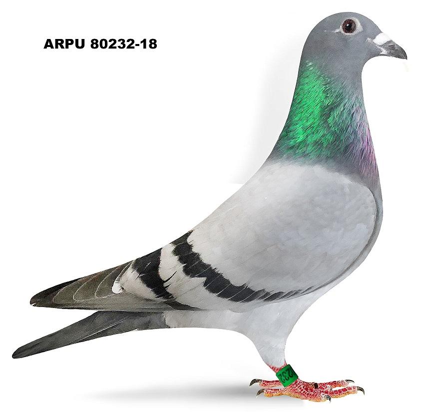 ARPU 80232-18 (Greek/Protege)