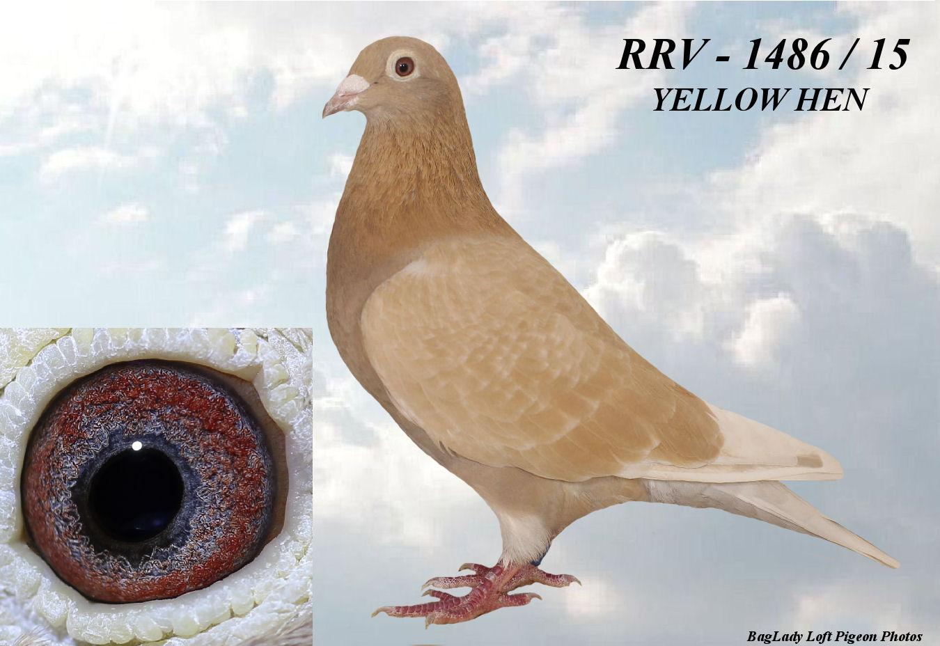 RRV - 1486 /2015  YELLOW HEN
