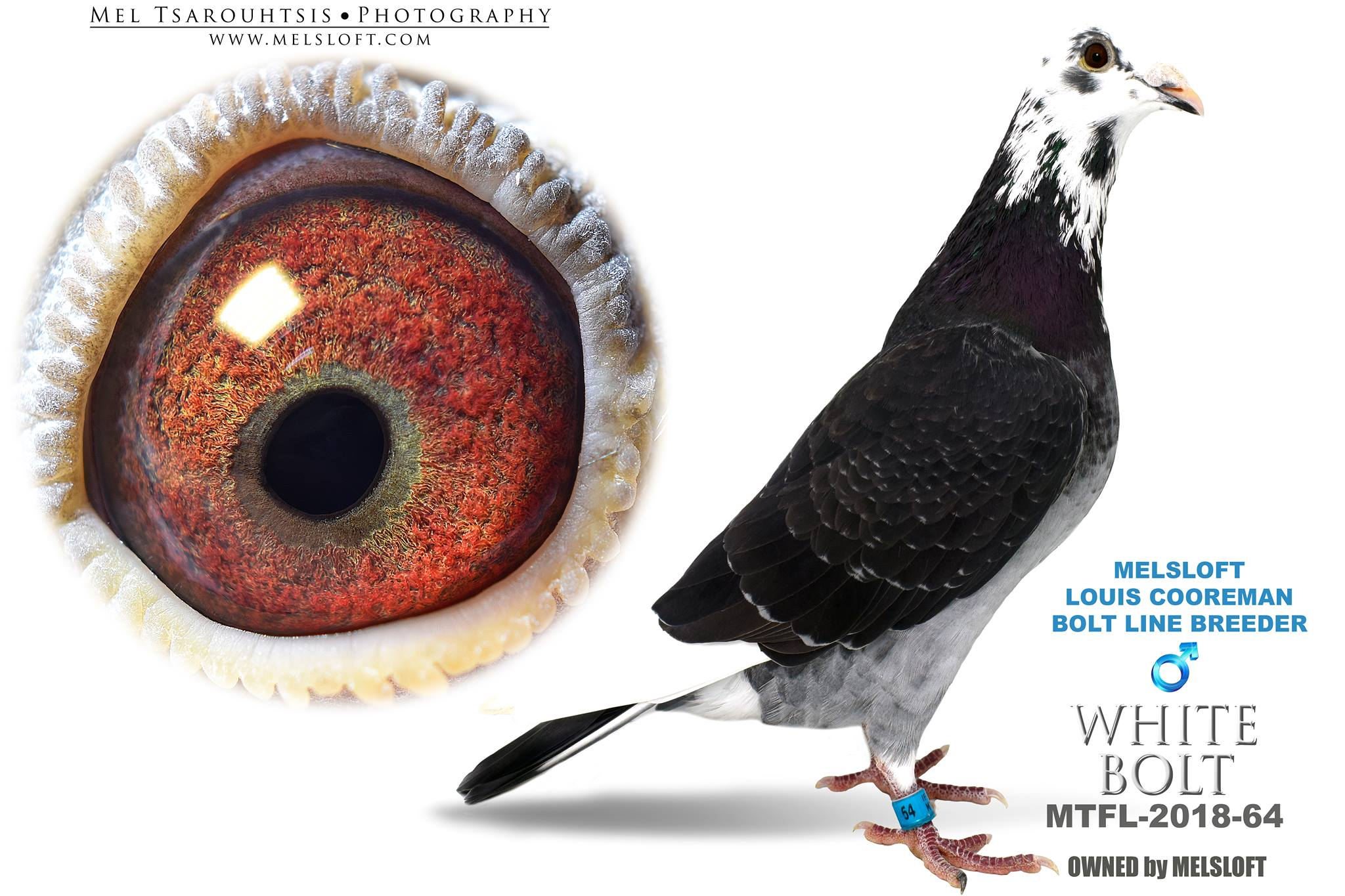 """2018 MTFL 64 DCSPL COCK """"WHITE BOLT"""" BROTHER TO PRIZE WINNERS"""