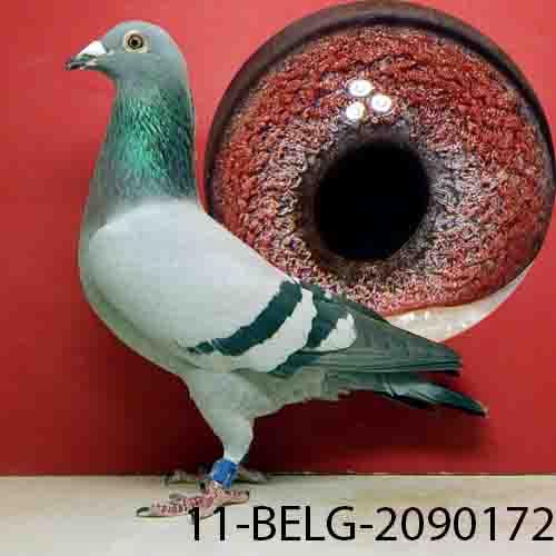 11-BELG-2090172 BB hen