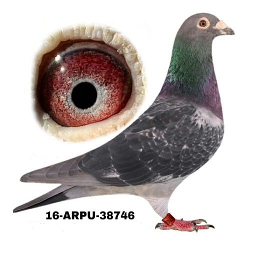 16-ARPU-38746 DC Cock.