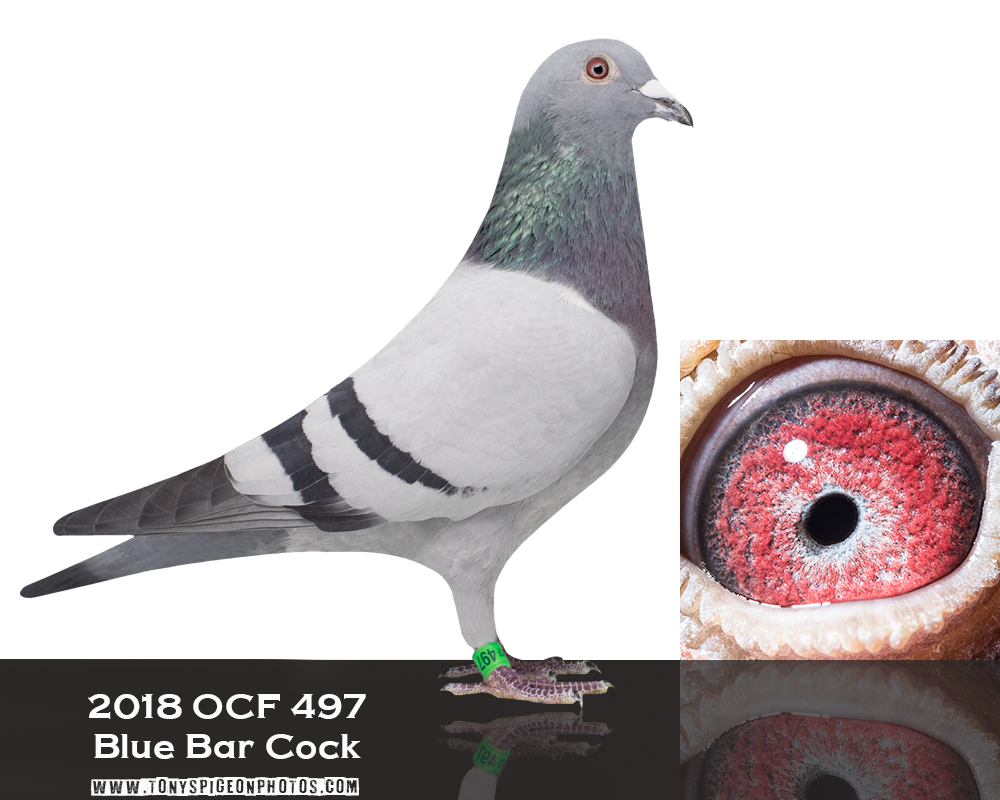 2018 OCF 497 BLUE BAR COCK
