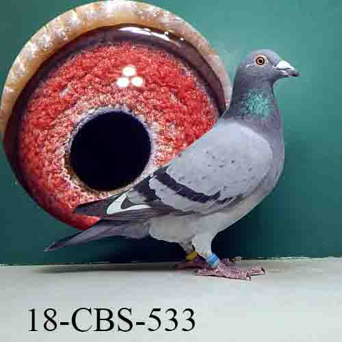 18-CBS-533 BBWF Cock