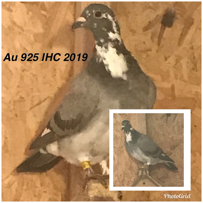 Au 925 IHC 2019 it's a medium size very well-built