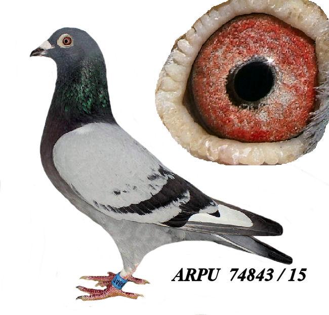 AU 15 ARPU 74843 PROVEN BREEDER