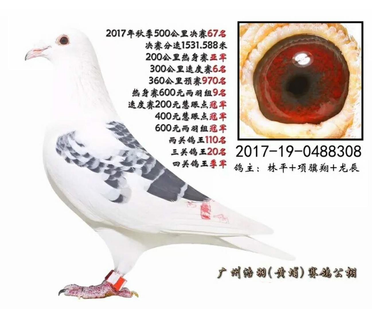 2017 China Guangzhou Hao Yu One Loft Race 3rd Ace Bird