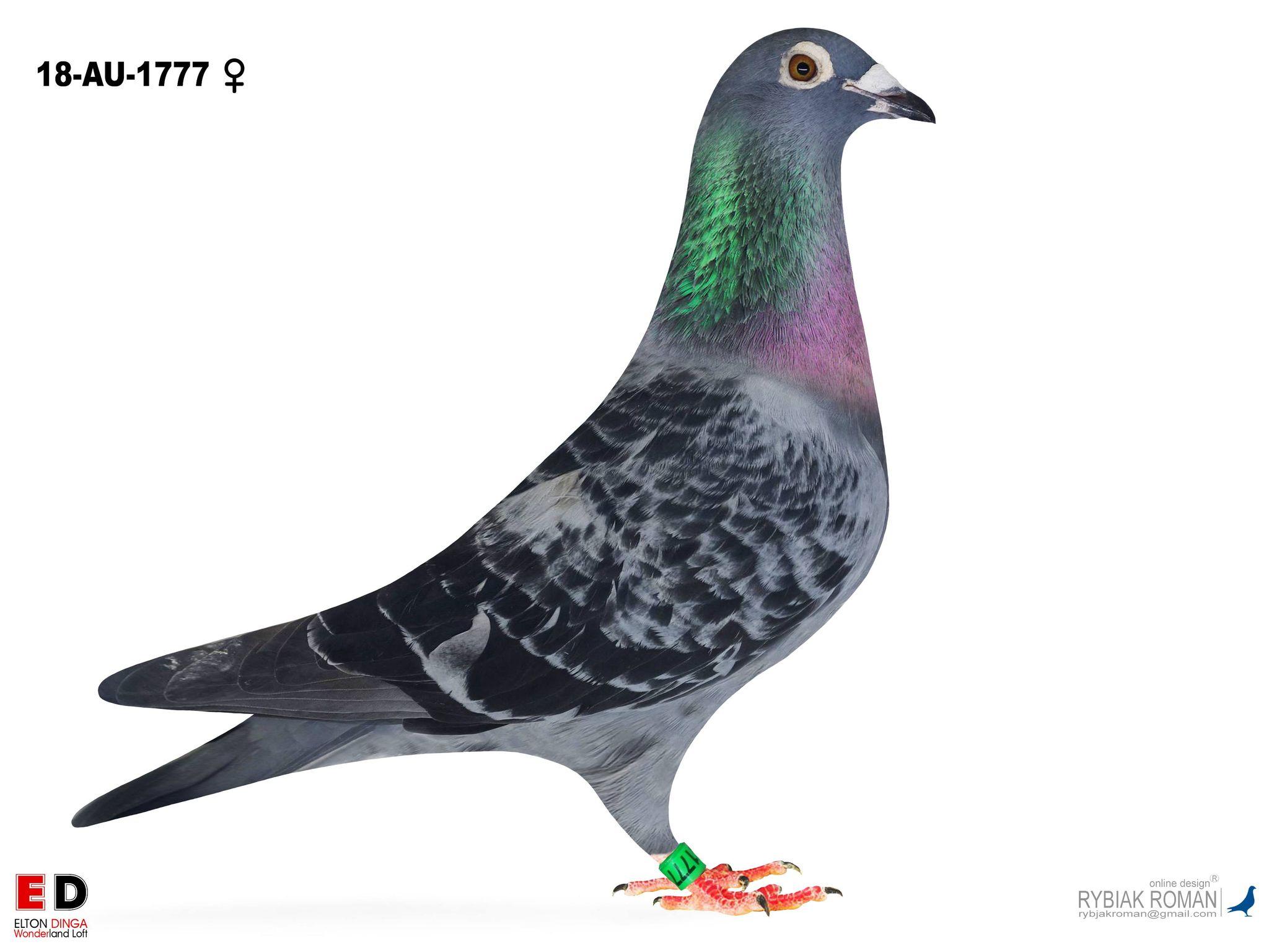 Son Champion x Grand Daughter Wytekop Sylvester - Bart Geerinckx 1777 Small Hen