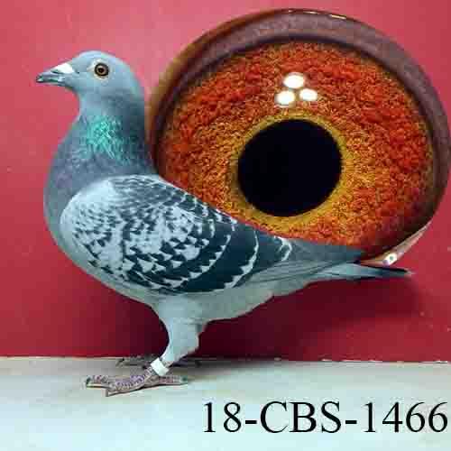 18-CBS-1466 BC Hen De Saer