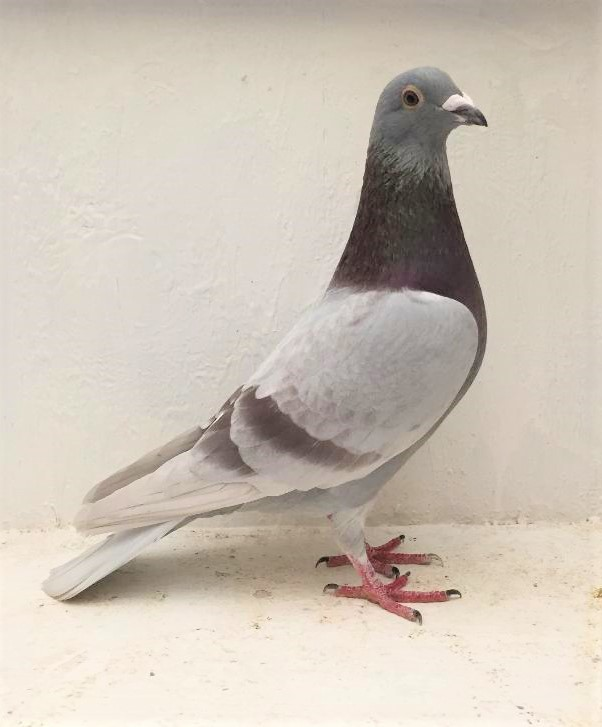 17 JRL 1030 Silver Cock