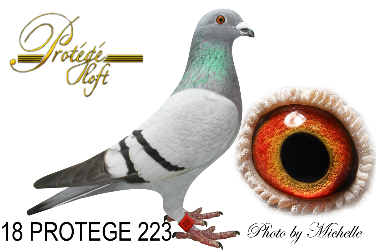 IF 18 PROTEGE 223 BB HEN