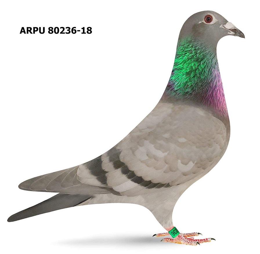 ARPU 80236-18 BB (Greek/Protege)