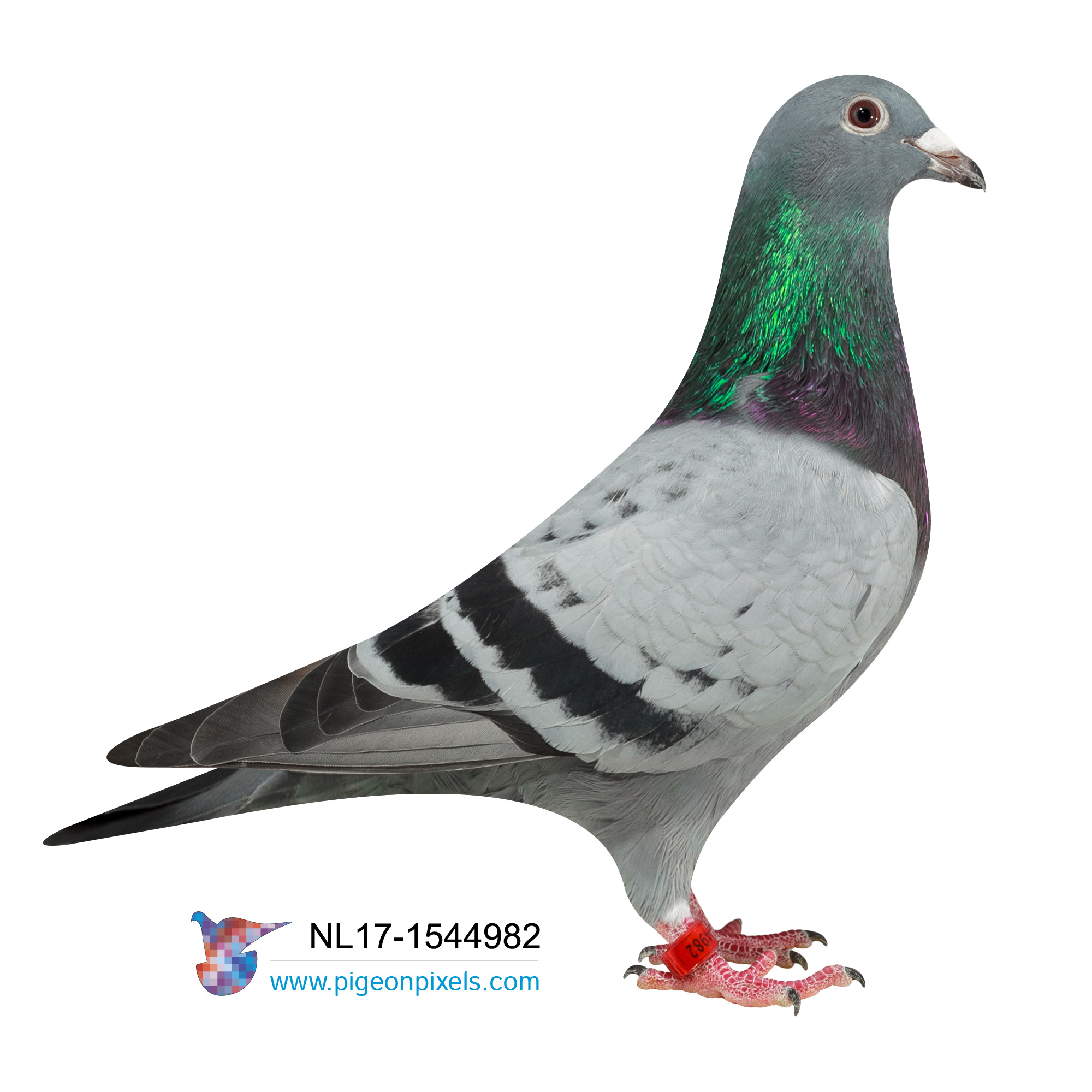"NL2017-1544982 (GRANDDAUGHTER AND INBRED TO THE MOST FAMOUS PIGEON IN THE WORLD ""HARRY"" JAN HOOYMANS"