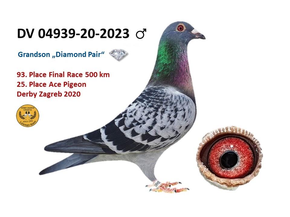 DV 04939 2020 2023 Male Grandson Diamond Pair 25 ACEPIGEON at OLR