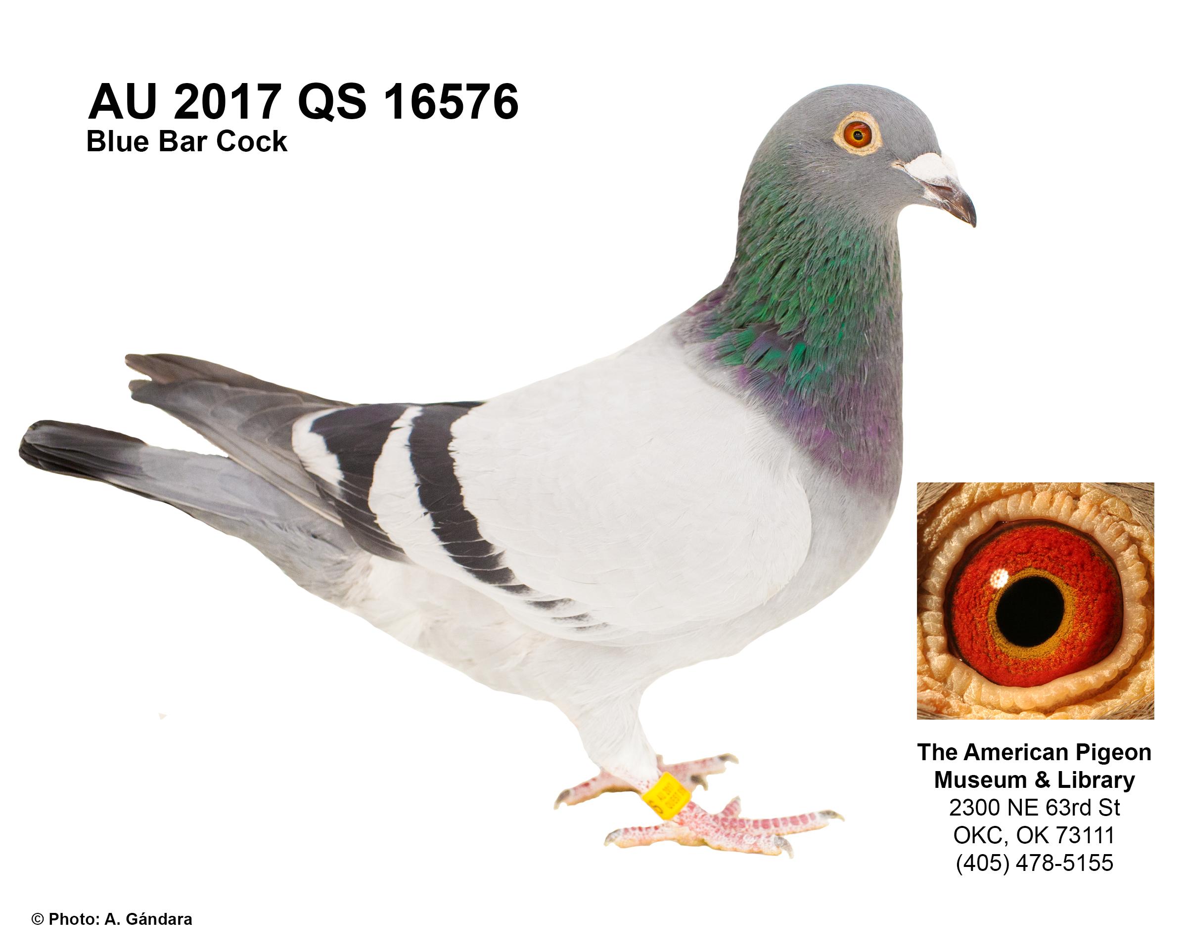 AU 17 QS 16576 BLUE BAR COCK