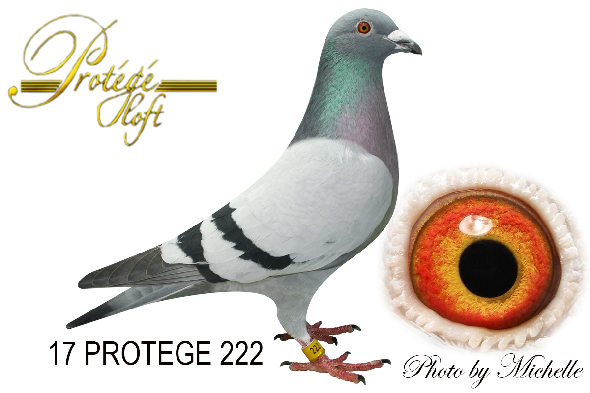 IF 17 PROTEGE 222 BB COCK